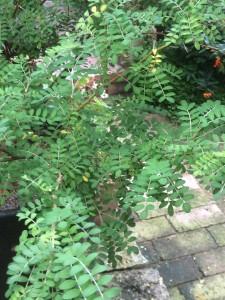 Eine Rarität ist der Toromiro - Baum.