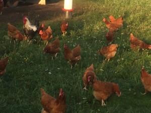 So gut kann es einem Huhn ergehen
