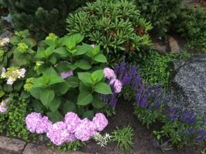 Liseberg Freizeitpark - violettfarbene Hortensien