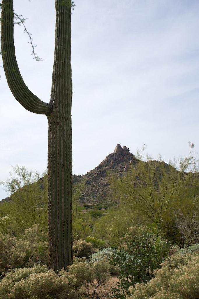 Scottsdale - Saguaro mit Pinnacle Peak