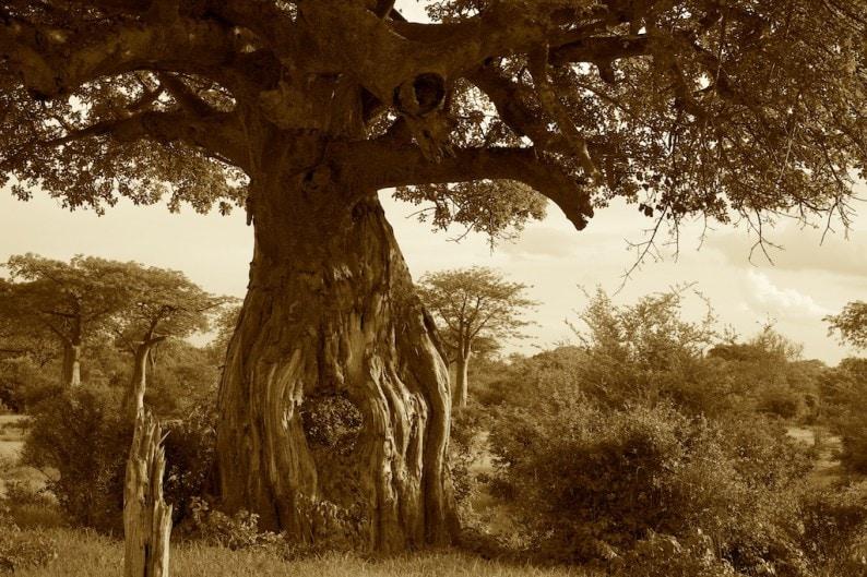 Tanzania - Ruaha NP - Beobap - Bäume