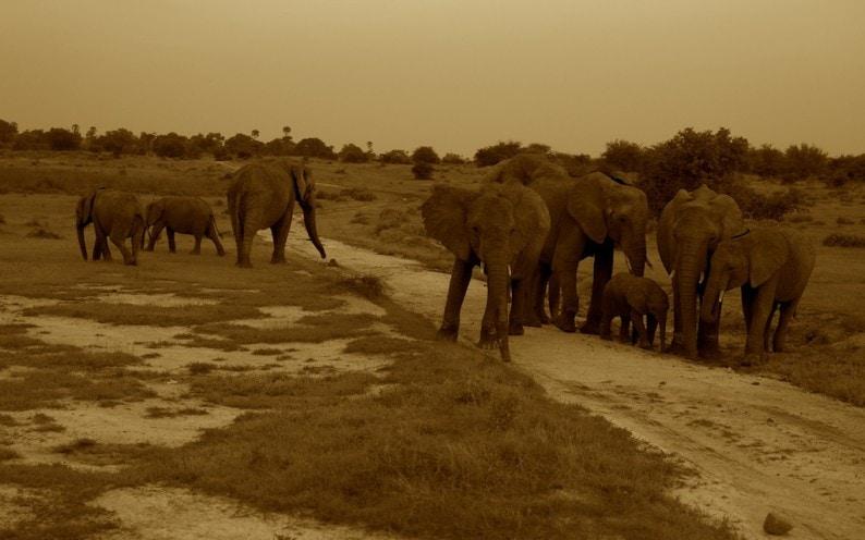 Tanzania - Ruaha NP - Elefanten am Abend