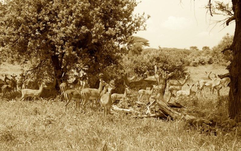 Tanzania - Ruaha NP - Impalas im Schatten