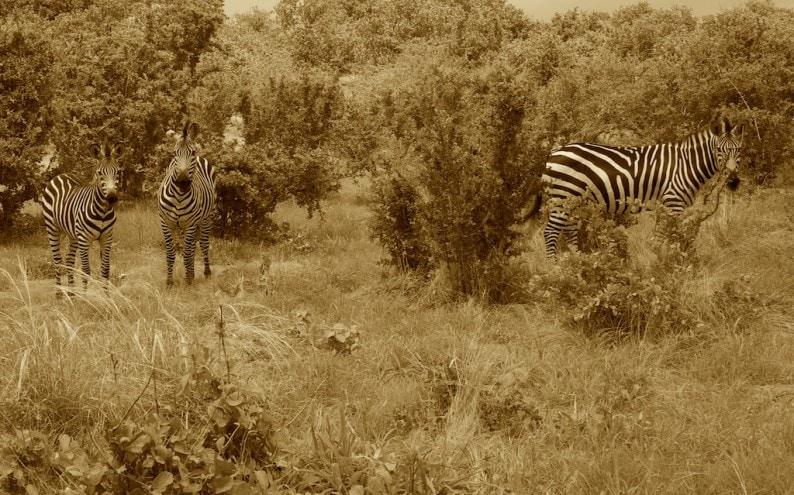 Tanzania - Ruaha NP - Zebras