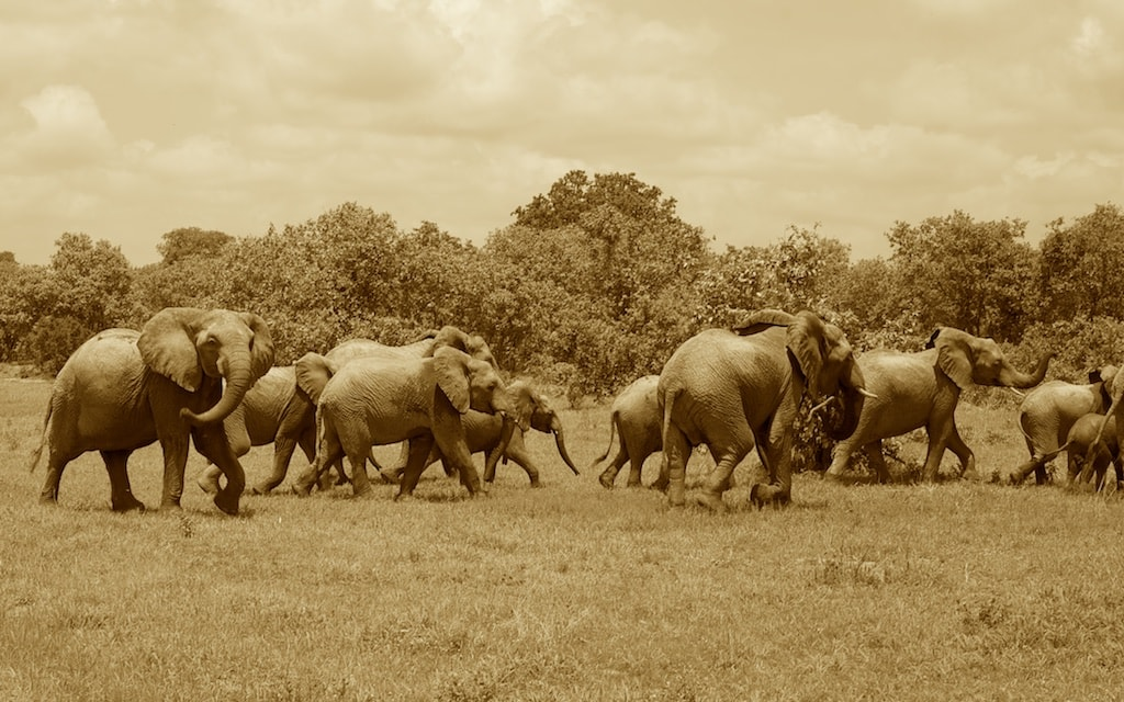 A herd of elephants is frightened by the car.
