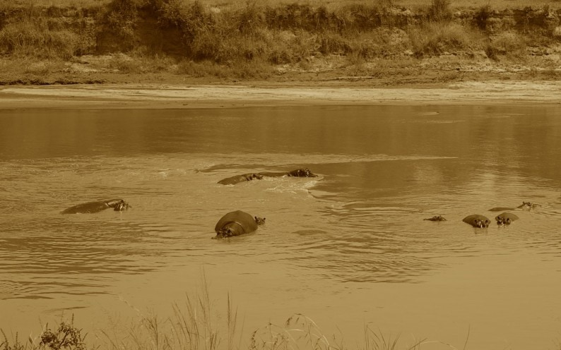 Tanzania - nördliche Serengeti - Mara River - Flugpferde