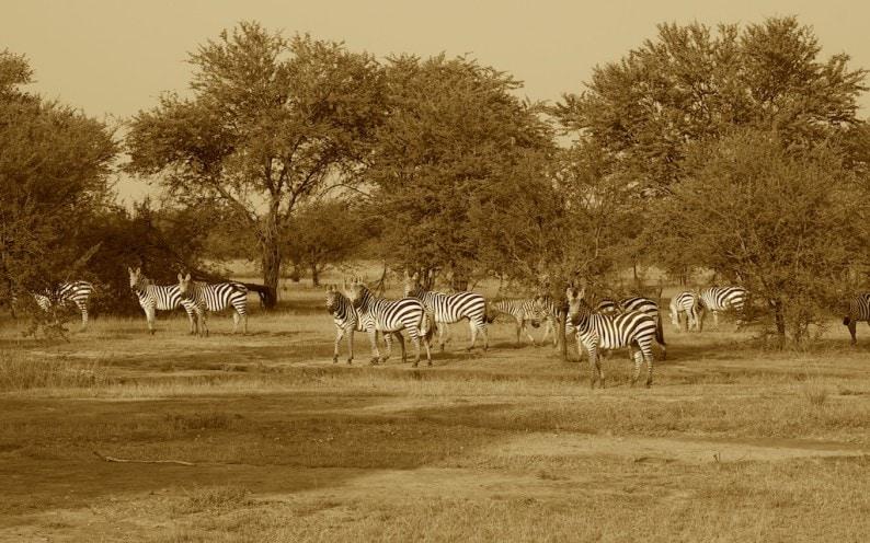 Tanzania - nördliche Serengeti - Zebras