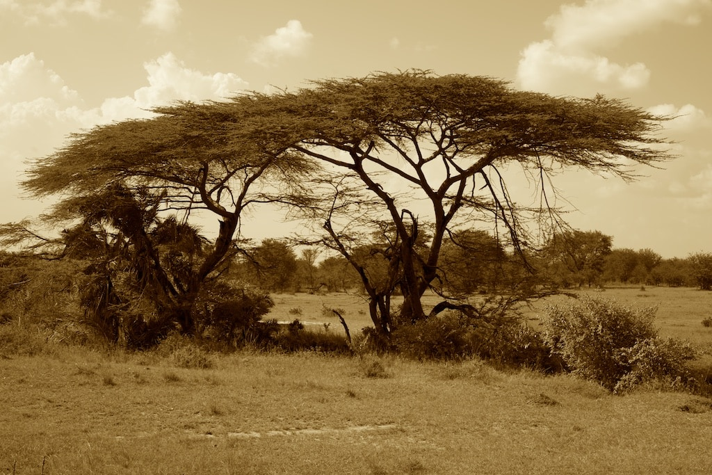 A wonderful umbrella acacia is mostly done by elephants eating the lower branches.