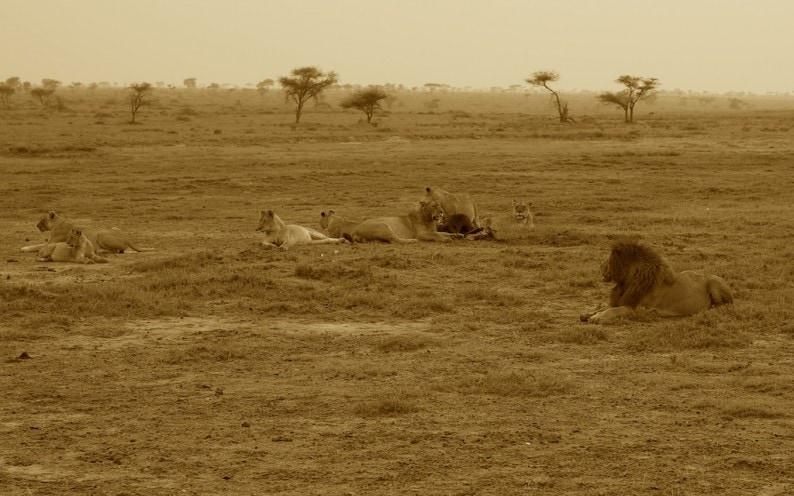 Tanzania - südliche Serengeti - Löwengruppe