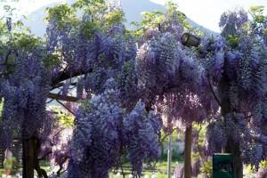 nun blühen die Glyzinien im Klostergarten von Galanthus