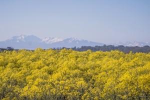 Färberwaid in Blüte vor verschneiten Bergen