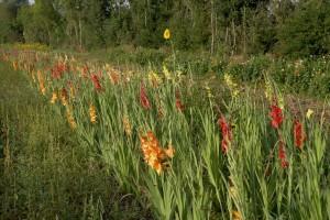 Neben der Gärtnerei sind die Felder mit den Gladiolen zum Selberpflücken.