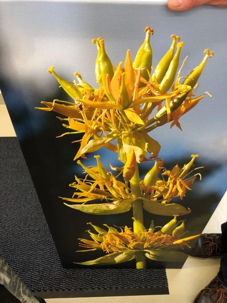 Bild eines blühenden gelben Enzians