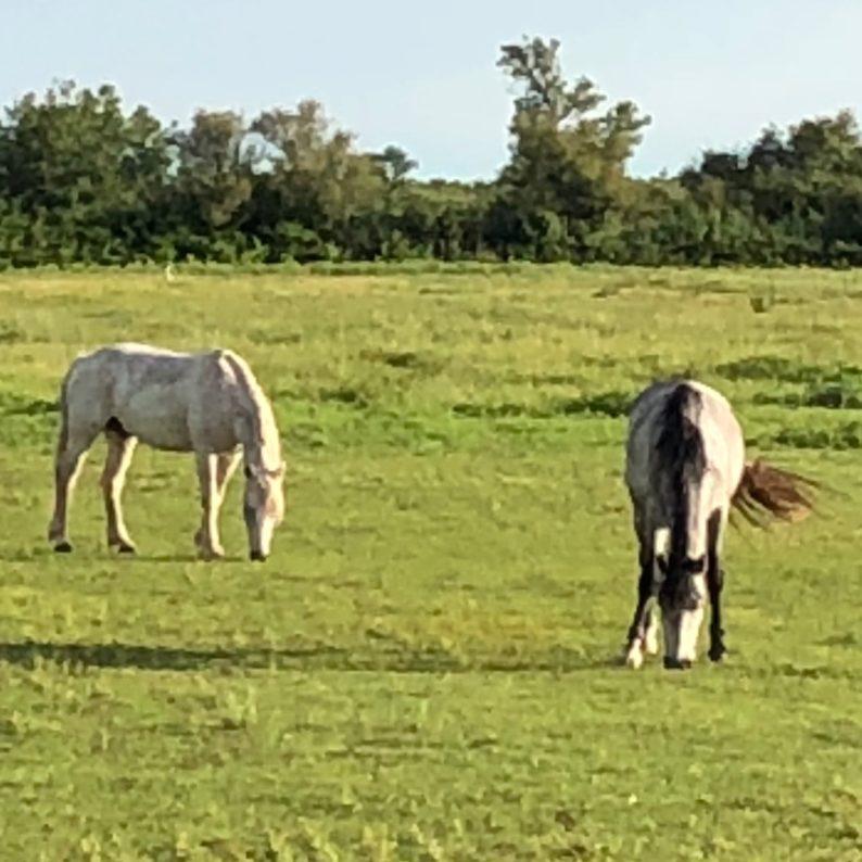 Manade Saint Louis in Montcalm - die Pferde