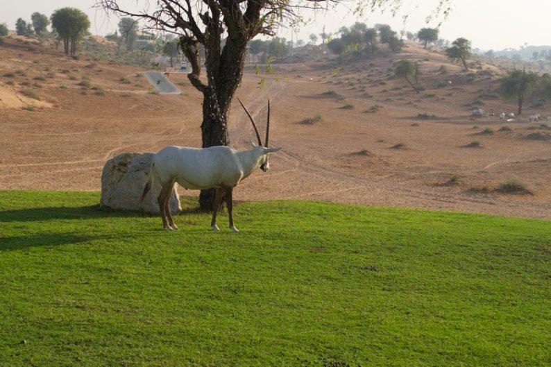 Oryx können in der Wüste leben