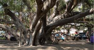 1873 gepflanzt, hat sich der Bayan Tree heute zum Wahrzeichen entwickelt.