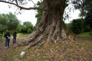 Gewaltiger Eukalytusbaum im Park von Pazo des Rubiáns.