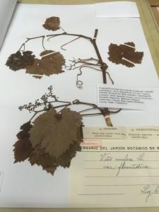 Real Jardin Botanico- Herbarbogen Weinrebe - Rojas Clemente