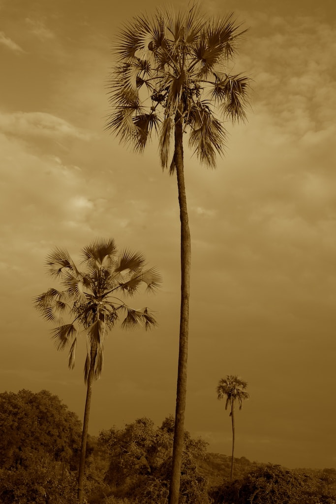 Tanzania - Ruaha NP - Palmen